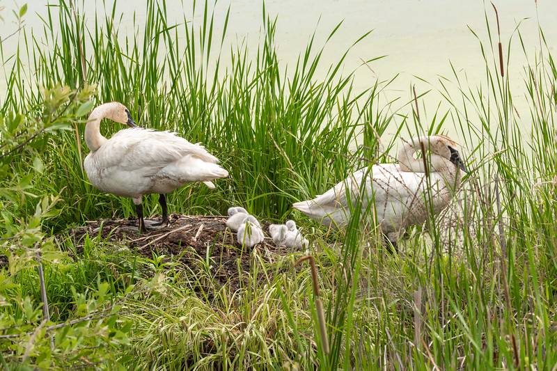 Trumpeter Swans are huge birds; 60 inches tall, with an 80-inch wingspan.  Because they are so large, they are able to protect their young ones from predators.  This photo was taken June 29, and you can see that all four cygnets are still there.
