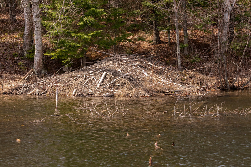 """This week's photos tell a conflicted story.  We have a large, occupied, Beaver lodge on the shore of our lake in northern Minnesota.  On the one hand, I am an enthusiastic wildlife supporter so, in general, I welcome all the """"critters"""" that are around us.  On the other hand, Beavers can be very destructive."""