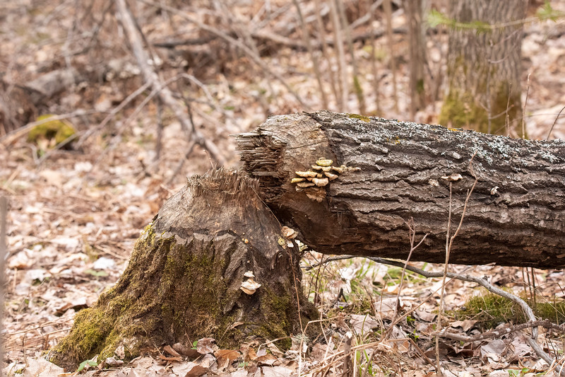 Here's another large tree taken down in the woods.  It's been down long enough to have mushrooms growing on the cut surfaces.