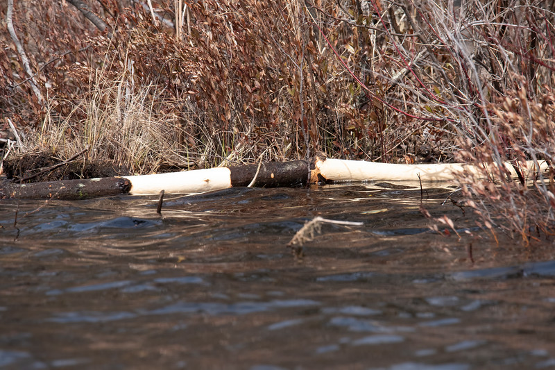 They eat the inner bark of trees.  As a result, stripped branches are a common sight along the shoreline.