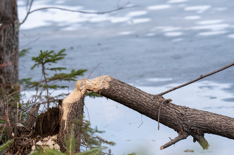 However, the effects of the Beaver activity are seen all around the lake.  With their strong, sharp teeth, they cut down trees so they can get access to the leaves and small branches.  This ash tree was right in front of our house.