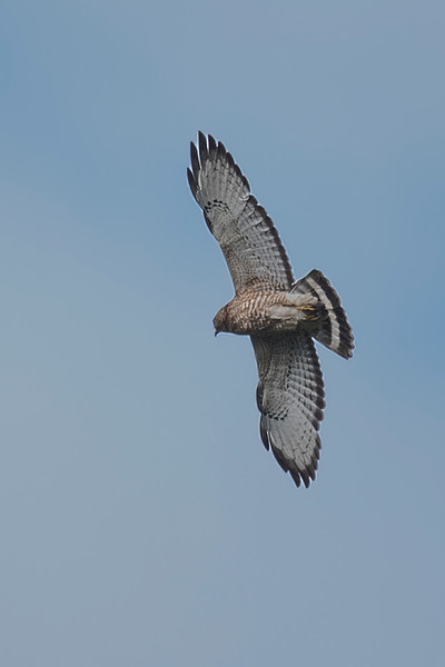 Here's a Broad-winged Hawk circling over our lake as we took a boat ride.