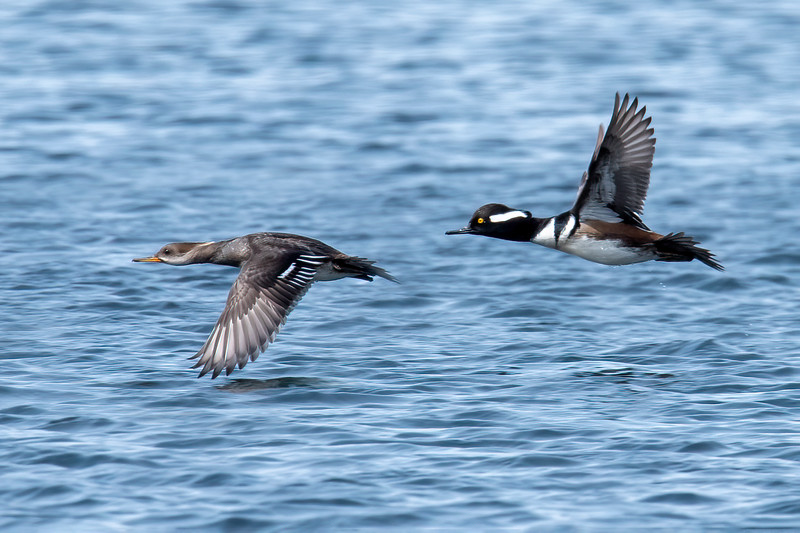 It's hard enough to get a sharp photo of a single duck in flight, so I was really pleased to get a shot of both a male and female Hooded Merganser at our lake.  This is most likely the pair that successfully raised a family in our Wood Duck box this year.