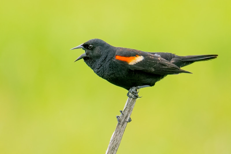 Here are some bird photos I took this spring.  This male Red-winged Blackbird was loudly defending his territory at a marshy area along Highway 2 in Itasca County.