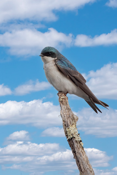 Each year I put up a Purple Martin house and some gourds, hoping that I can attract a family of Martins.  I haven't been successful getting Martins, but the Tree Swallows make use of the gourds so it's not a wasted effort.