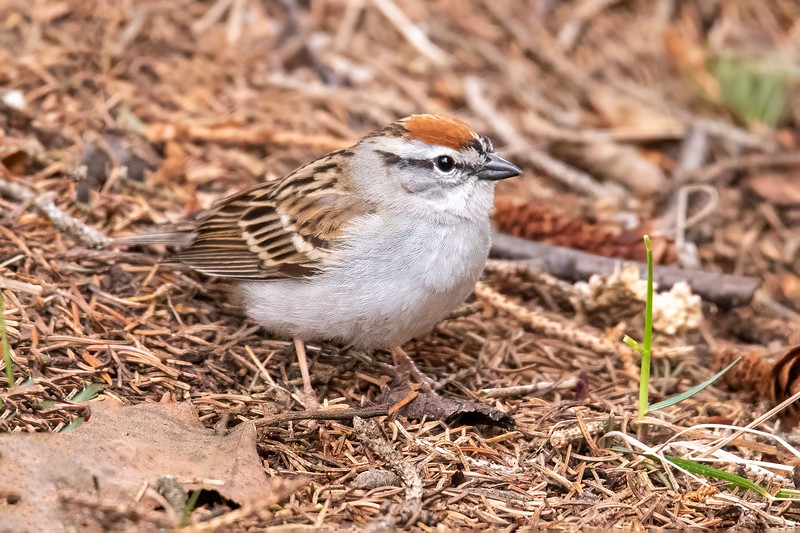 I photographed this Chipping Sparrow early in the spring at Cascade River State Park along the North Shore.