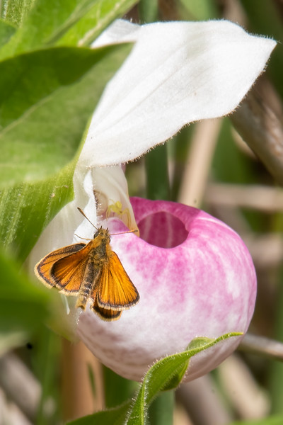 """This European Skipper was checking out the flowers.  One of the references I looked up specifically mentioned that this butterfly species was attracted to Showy Lady's-Slippers.  It also said that the Skippers sometimes got stuck in the """"pouch."""""""
