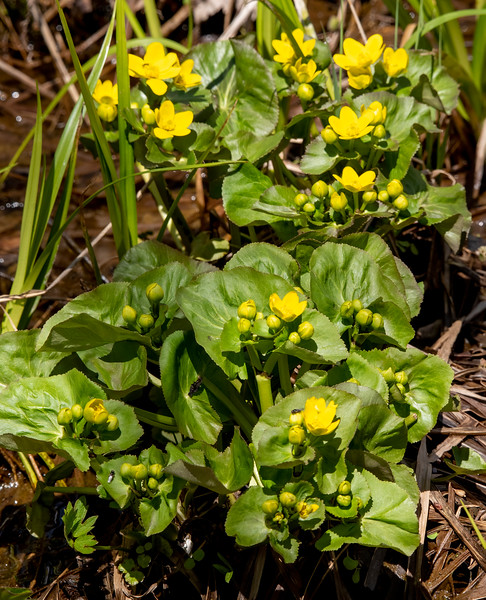 Marsh Marigolds start blooming at the same time as Bloodroot.  We always find them in the ditches right near the Bloodroot.  Their bright yellow flowers are one of the first cheerful signs of spring.