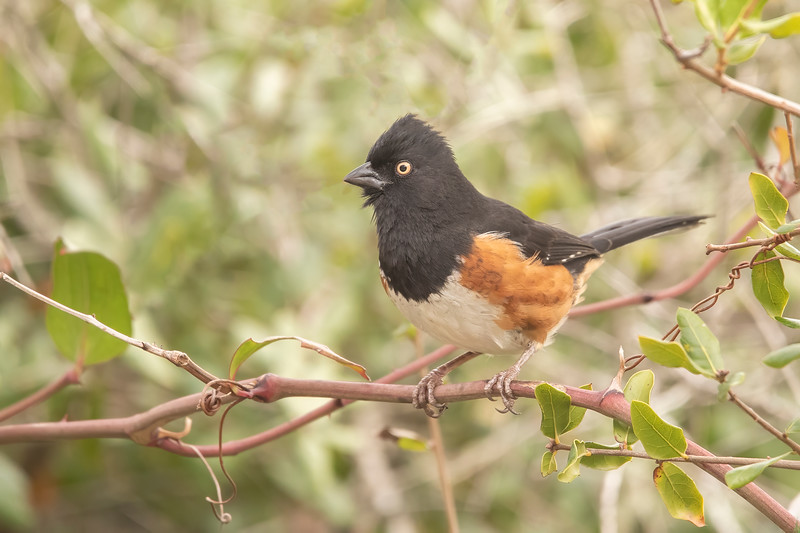 Here's a male Eastern Towhee.  Towhees are also 8½ inches long, the same size as a Catbird.