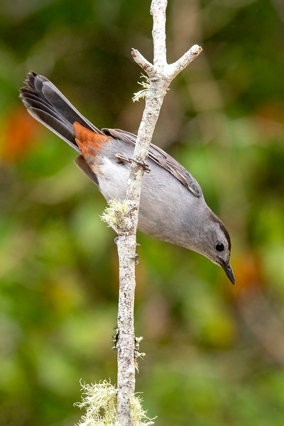 Here's a better look at the rust-colored feathers on a Catbird.  The official name for this group of feathers on a bird is undertail coverts.