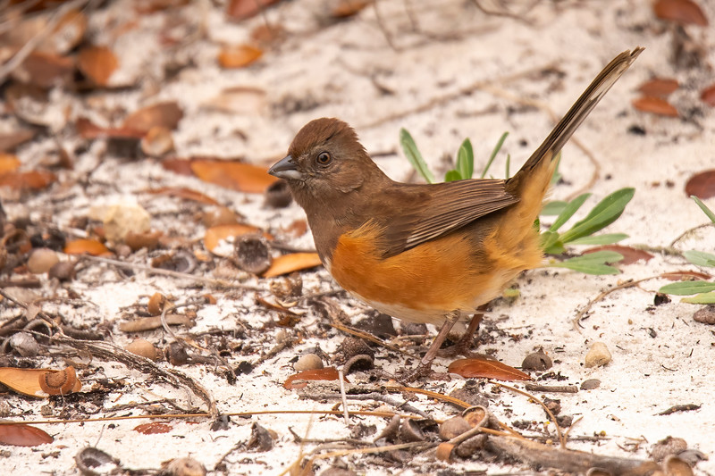 I also heard Eastern Towhees calling in the yard, but I only had a few chances to actually see them.  This is a female Eastern Towhee.