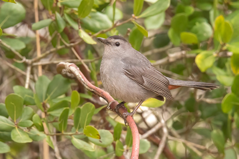 Gray Catbirds are really gray, with just a small black cap on their heads.  The only colorful part of a Catbird is a small area of rust-colored feathers under the bird's tail.  Those feathers are just barely visible in this photo.