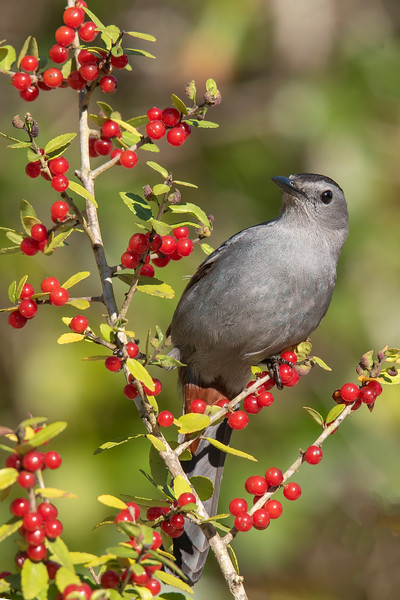 A couple of weeks ago, I had photos of Catbirds eating Asparagus Fern berries.  They were just as enthusiastic when I put out a branch with Yaupon Holly berries on it.  They would try to grab a few berries before being chased off by a Mockingbird.