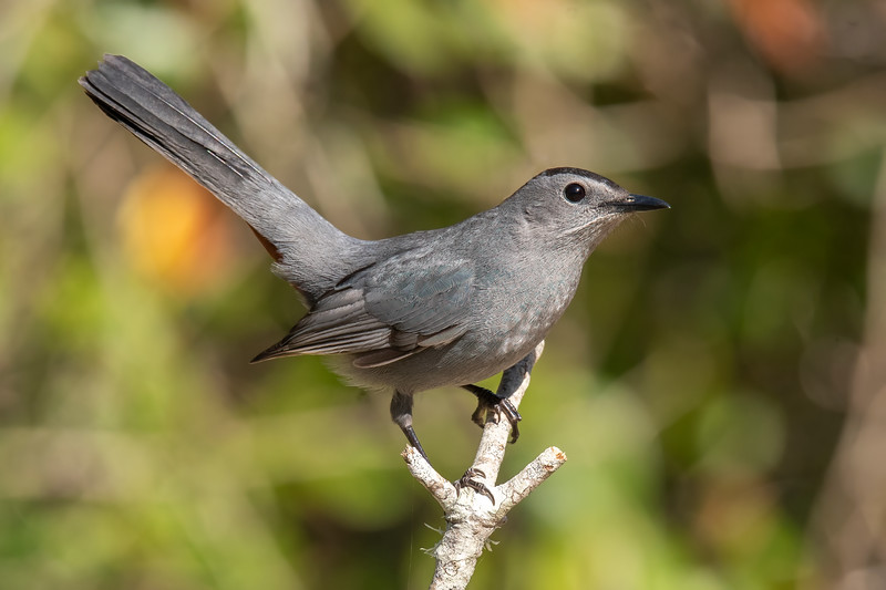 While we were in Florida, we had some Gray Catbirds in the yard of the house we rented.  At 8½ inches long, the Catbird is a little smaller than a Robin.  It was fun to hear their calls, which do sound just like the mewing of a cat.