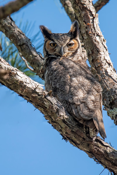 The other adult owl was perched in a nearby tree.