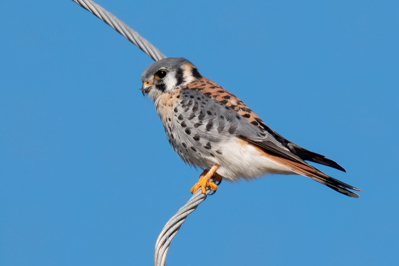 It's usually very difficult to approach an American Kestrel close enough to get a decent photo.  But this one was very cooperative as it perched on a wire on St. George Island.  Kestrels are small raptors, only 9 to 12 inches long with a wingspan of 20 to 25 inches.