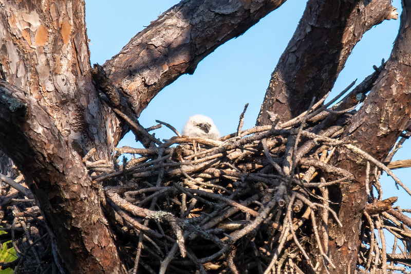 This photo proves that at least one owlet hatched this year.  You can see its fuzzy white head above the edge of the nest.