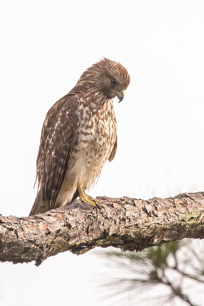The plumage of this juvenile Red-shouldered Hawk is quite different than the adult plumage seen in the previous photo.  It was intently studying something on the ground near Sikes Cut on St. George Island.