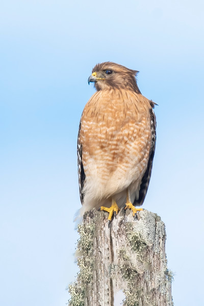 Red-shouldered Hawks are common, year-round residents in Florida.  They are 17 to 24 inches long with a wingspan of 32 to 50 inches.  The rust-colored plumage indicates this is an adult.  It was perched on a post near the fishing docks in Apalachicola.