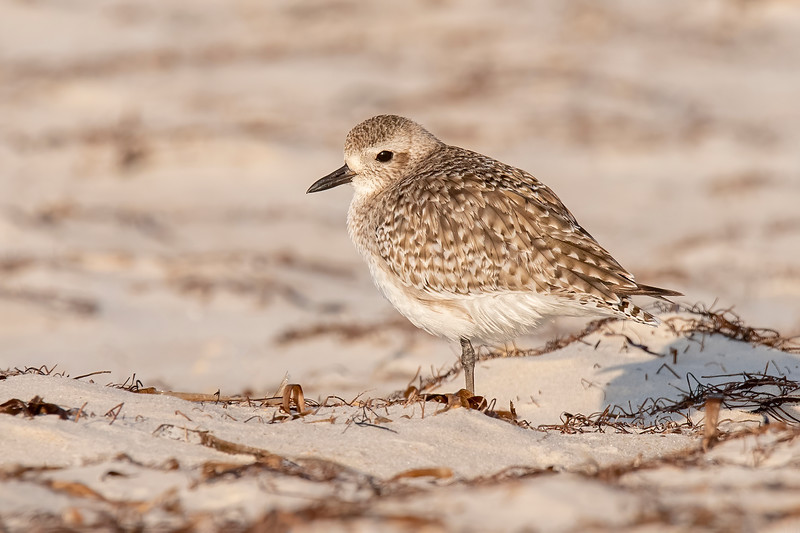 The Black-bellied Plover is somewhat larger, 11½ inches long with a 29-inch wingspan. It breeds on the far northern Tundra.  Its black and white breeding plumage is dramatically different than the brown mottled winter plumage shown here.