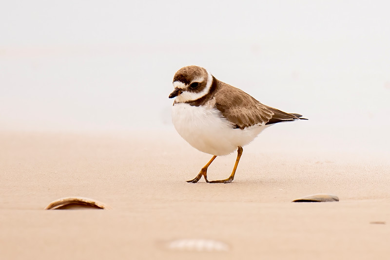 The Semipalmated Plover is on the small side, only 7¼ inches long with a 19-inch wingspan.  Its breeding plumage isn't very different than the winter plumage seen here.  The main difference is that the beak turns orange with a black tip.