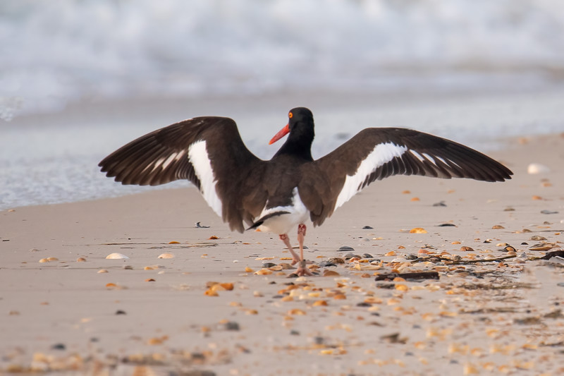 When the Oystercatcher spread its wings, it revealed an interesting brown and white pattern.  It's a large shorebird, about 17½ inches long with a 32-inch wingspan.  Despite its name, mussels, not oysters, are its main food.