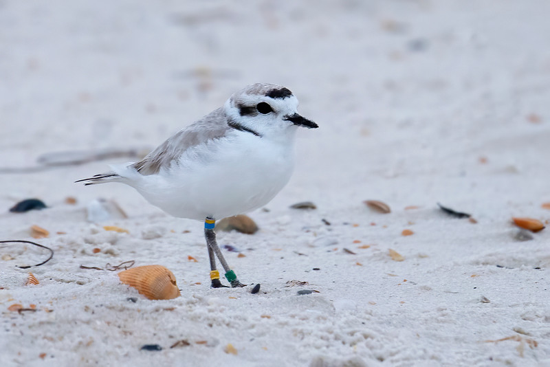 The Snowy Plover is a tiny shorebird, only 6¼ inches long with a 17-inch wingspan.  The Florida population is listed as threatened.  I found a pair of them along the beach at St. George Island State Park.  This male is already in breeding plumage with dark patches on the top of his head and behind his eyes.  Notice all the colored bands on his legs.  Snowy Plovers are intently studied so many of them are banded like this.