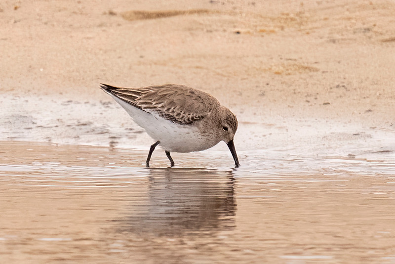 The Dunlin is a small shorebird, 8½ inches long with a 17-inch wingspan.  This is typical behavior, probing in the mud along a shoreline looking for food.