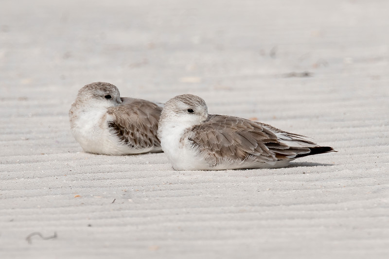 Sanderlings are usually seen running up and down the beach like little wind-up toys.  They seem to chase the waves as they roll in and recede back out.  Here I managed to photograph two of them actually taking a break and resting on the sand.
