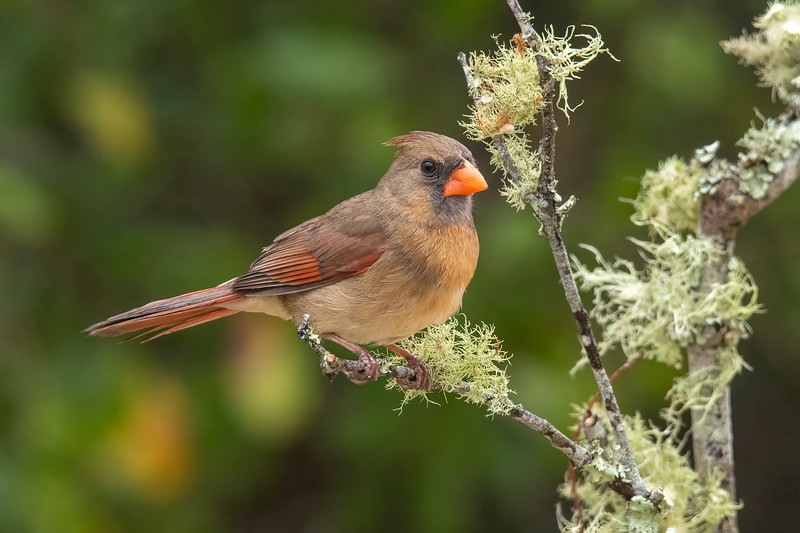 Male Cardinals get most of the attention with their bright red plumage.  However, the females are also very attractive.