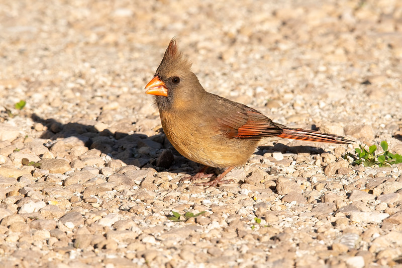 Northern Cardinals are common birds, but we do not have them at our lake home in northern Minnesota.  So, while we were in Florida this winter, I was happy that we had one or two pairs of them right in the yard of the house we rented.  Here's a female looking for seeds in the gravel driveway.