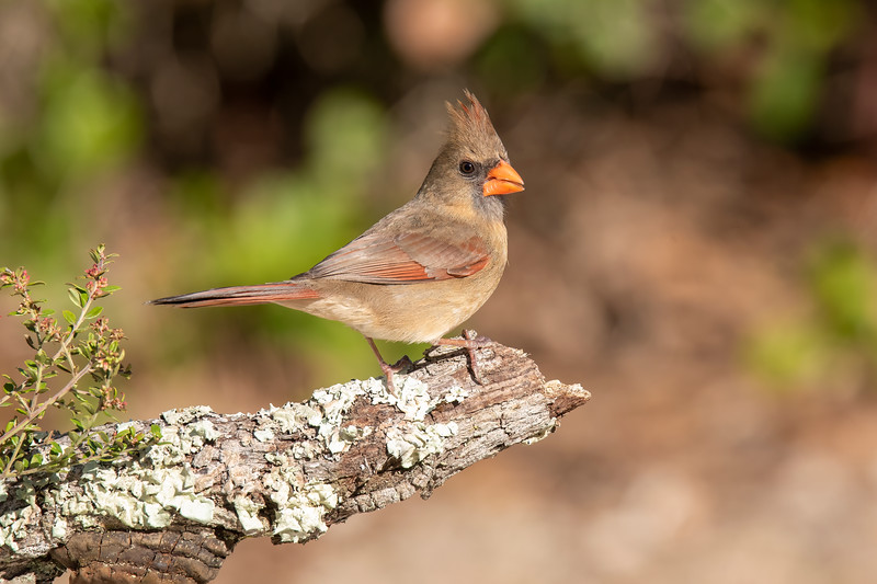 This female Cardinal is eating seed that is concealed in the hollowed-out end of the perch.