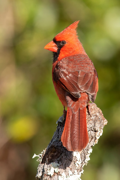 I set up a few perches, put out some birdseed, and the Cardinals became regular visitors.  Here's a male using one of my perches.