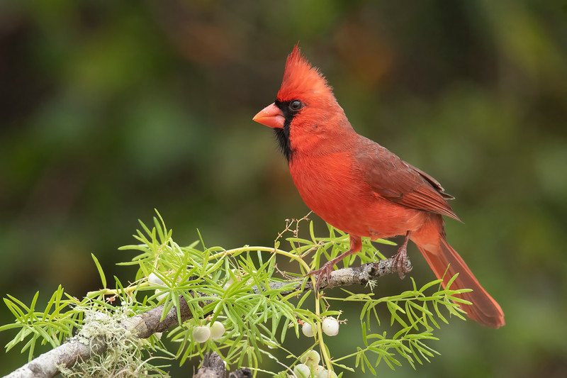 Northern Cardinals are found year-round all across the eastern half of the United States.  They are popular birds, being named the state bird for seven states (Illinois, Indiana, Kentucky, North Carolina, Ohio, Virginia, and West Virginia.)