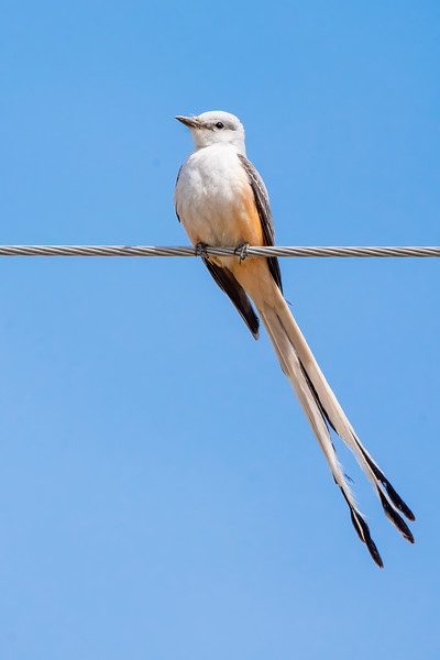 About a week ago, I saw a report that said this Scissor-tailed Flycatcher was being seen near the town of Jacobson, Minnesota.  I was at our lake home, and Jacobson is on one of the routes I can take back to the Twin Cities.  So, of course, I had to stop by and see it.