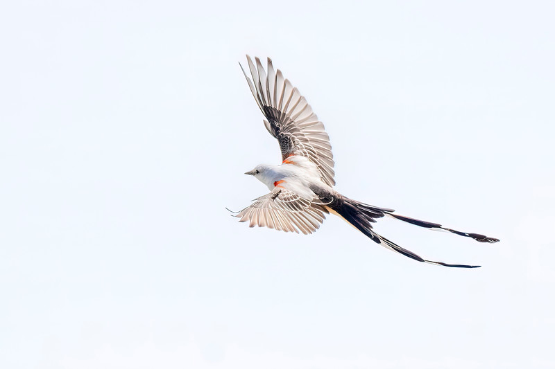 """This flight shot shows that the bird has a """"regular length"""" tail but also has outer tail feathers that extend far beyond the other tail feathers.  The normal range for this bird is in the states of Texas, Oklahoma, Kansas, and Arkansas, so you can see it is not expected in Minnesota."""