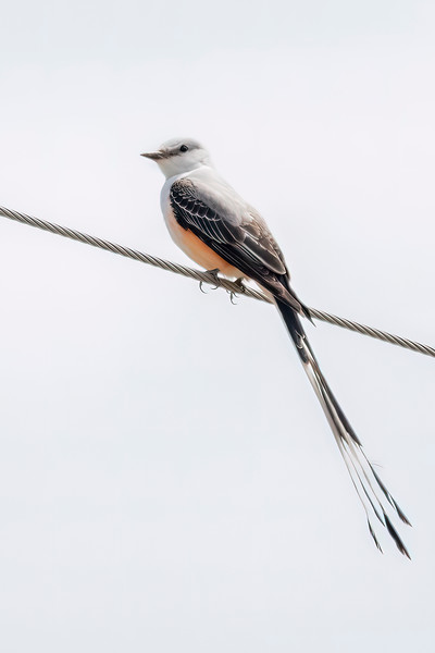 My field guide lists the Scissor-tailed Flycatcher as 15 inches long.  As you can see, the tail makes up over half that length.