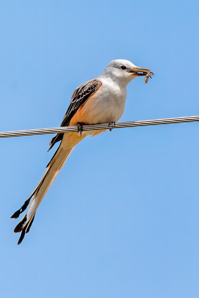 The Flycatcher, true to its name, did some flycatching while I was there.  In this case, it caught a dragonfly.