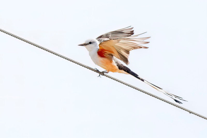 """When the Flycatcher raised its wings, the salmon-colored patches in its """"arm pits"""" were on full display.  That raises the question – why would such colorful patches be in a place where they are rarely seen?"""