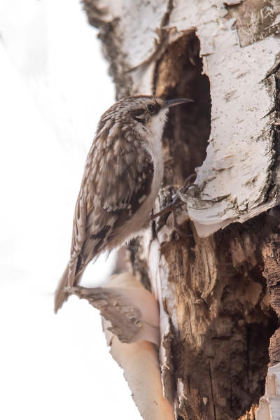 This photo of a Brown Creeper on a Birch tree reminded me that these birds almost always build their nests between the peeling bark and the trunk of a dead or dying tree.