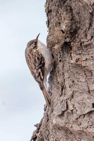 The next day I saw two Brown Creepers and was able to get some closer photos.  This side view provides a good look at the white throat and belly and the mottled brown plumage on the back and wings of the bird.  Also, notice the thin, needle-like beak.  It is slightly curved downward.
