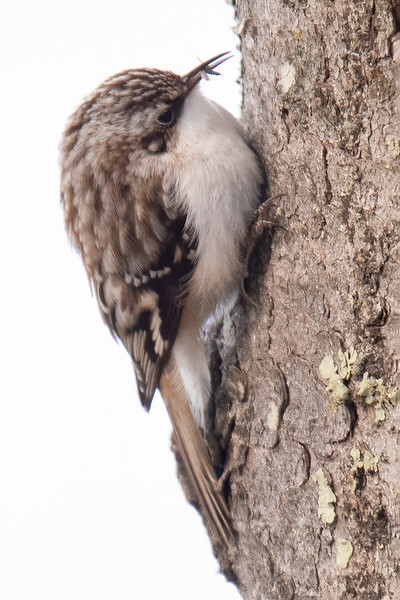 Here's another tiny insect found by the bird.  Because Brown Creepers always go up a tree, they are able to find different insects than the Nuthatches, which always go down a tree.