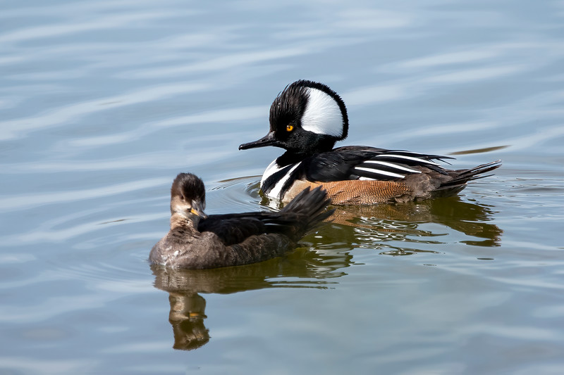 I was pleased to get both a male and female Hooded Merganser in the same photo at St. Marks NWR.  We put out a Wood Duck box on our lake in northern Minnesota and this year it's being used by a Hooded Merganser.