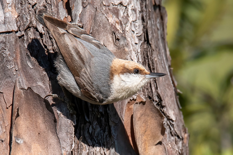 Here's my last set of photos from our Jan. – Feb. stay in Florida. Let's start with a cute one.  This is a Brown-headed Nuthatch.  This bird's call sounds like a little squeaky toy.  It's a small bird, only 4½ inches long.  That's the same size as a Red-breasted Nuthatch.  It's a year-round resident in the Southeastern United States.