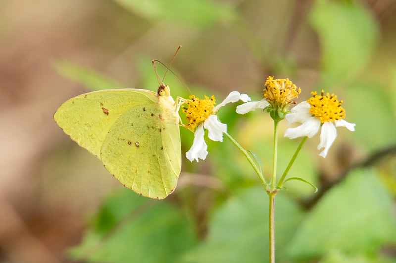 During the winter in northern Florida, there are a few butterflies still flying around.  This is a Cloudless Sulfur.