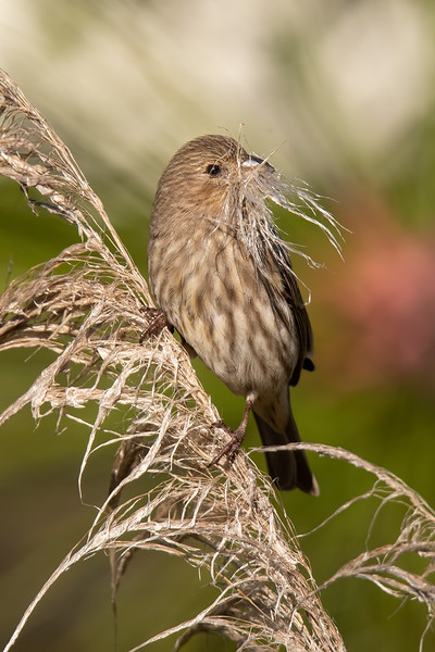 This female House Finch gave me a chuckle as she gathered nesting material.