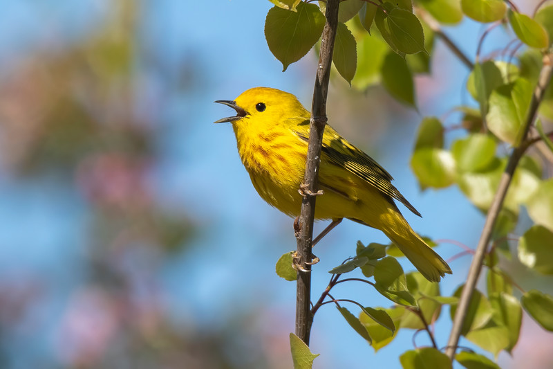 This Yellow Warbler was singing away near our apartment in the metro area.