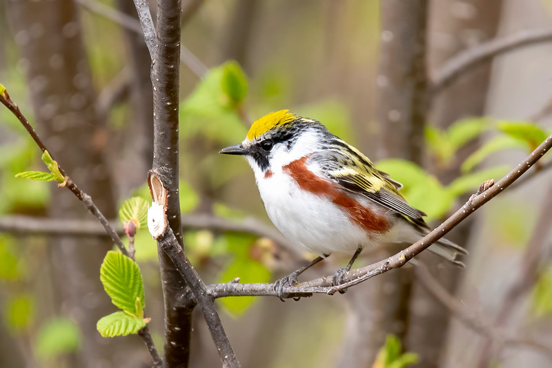 Warblers are also on the move in spring.  This is a Chestnut-sided Warbler.  It flies to the tropics for the winter but might be found in northern Minnesota during nesting season.  I photographed this one while I was hiking in our woods.