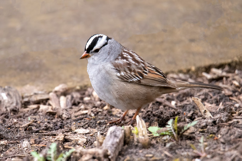 Its black and white striped head gives the White-crowned Sparrow an elegant look.  It's another bird that is just passing through our area in migration, with the Canadian tundra as its ultimate breeding destination.  This one was seen at our apartment in the Twin Cites metro area.