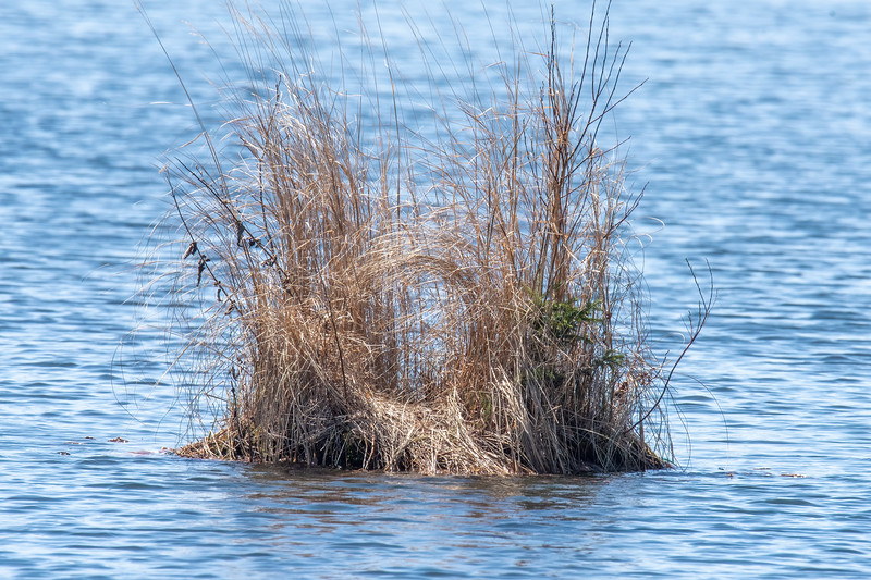 """We put out a """"loon platform"""" so they can build a nest on it.  Loons have tried building a nest along the shoreline but invariably some predator raids the nest and eats the eggs.  The loon platform is anchored about 50 feet out in the lake, so predators don't bother trying to get out there.  Various grasses grow in the dirt on the platform.  The dried grass from last year is still there, and new grass will soon provide even more cover.  Look closely and you can even see a small spruce tree growing on the right side of the photo.  It looks like the Loons have already started making a space for their nest."""